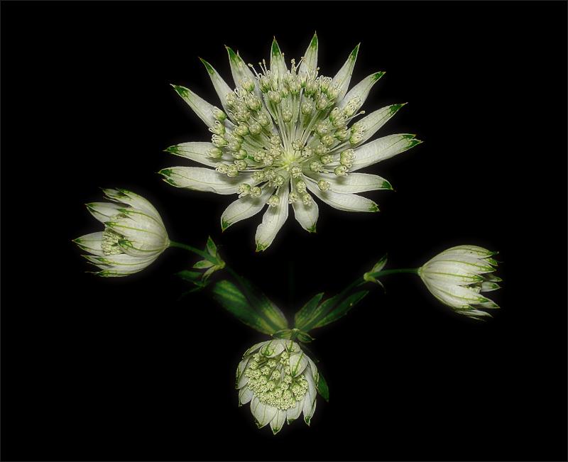 Natural Symmetry (Astrantia Maior)