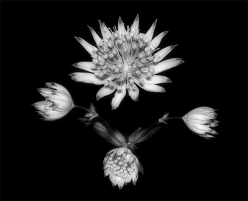 Natural Symmetry (Astrantia Maior)