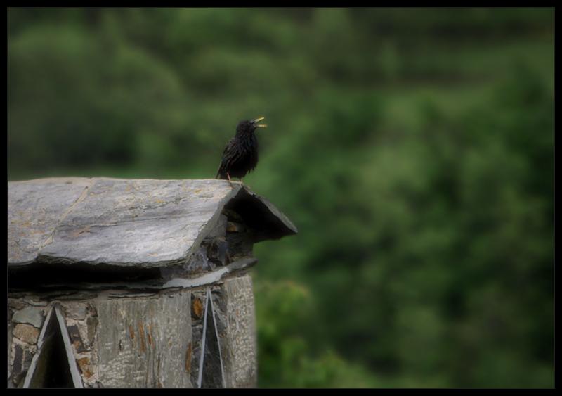 el cant de l'ocell