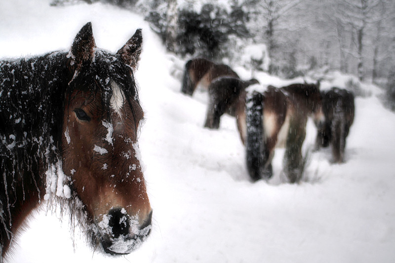 horses in snow - II