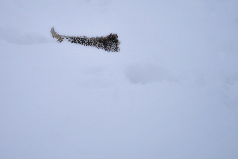 neu i gosset / snow and little dog