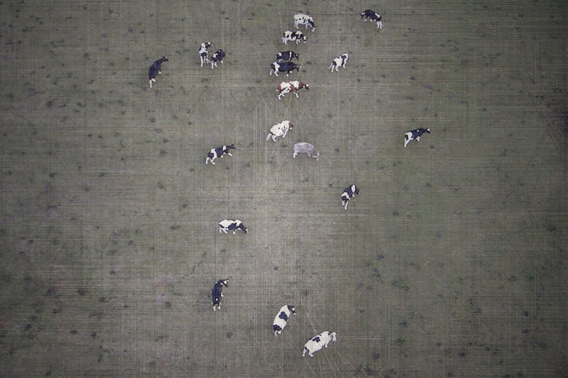 cows / vaques / vacas