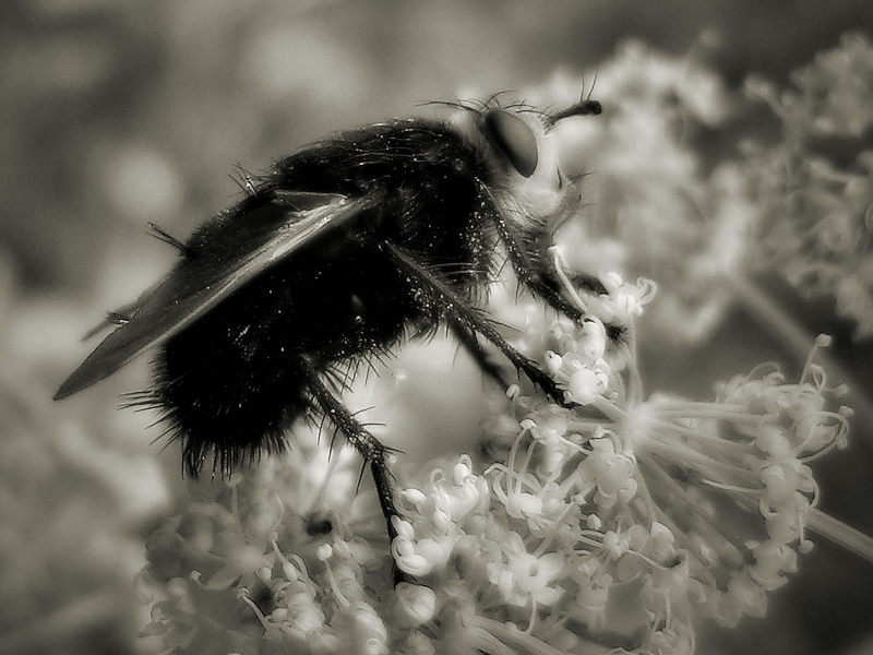 The fly / Abrics de pell de mosca.