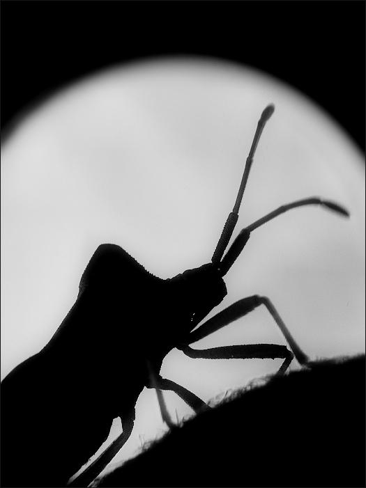Coreidae - II