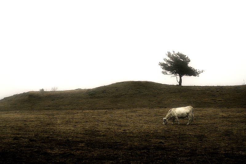 a cow and the tree / una vaca i l'arbre