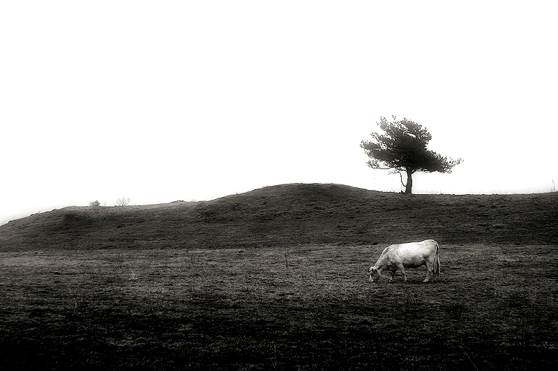 a cow and the tree / una vaca i l
