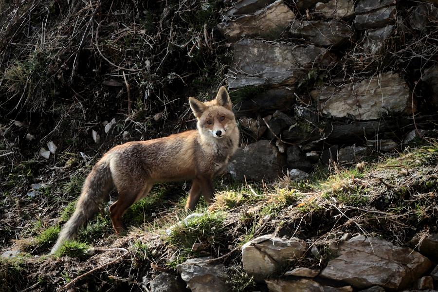 the fox / la guineu /el zorrro