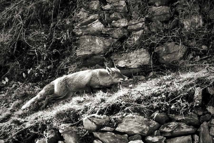 L'oportunista (the fox / la guineu /el zorrro)