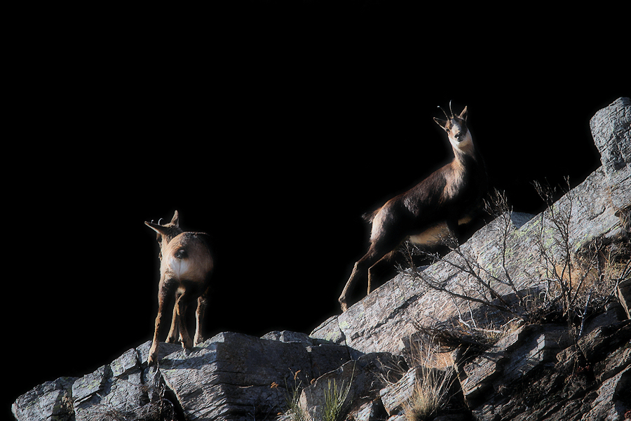 mother chamois / mare isard
