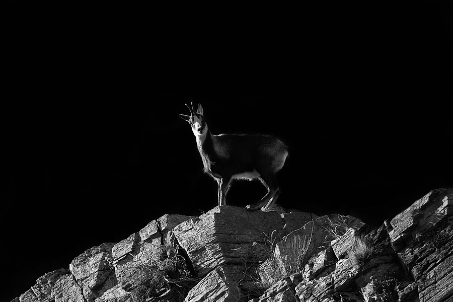 The chamois / L'isard