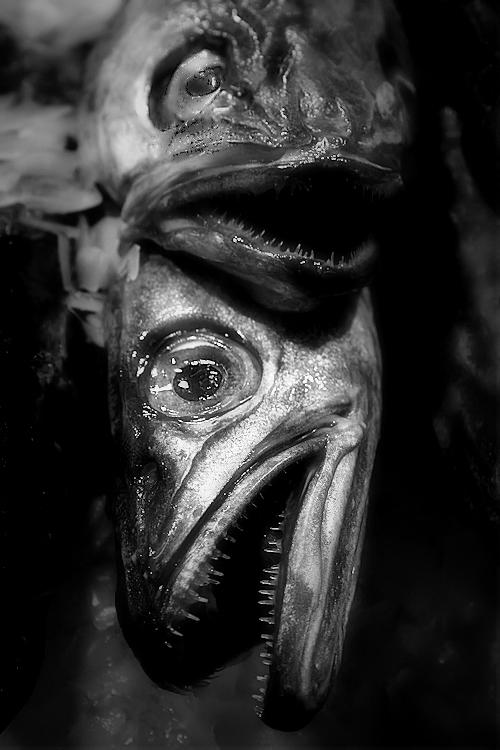 peix sobre peix sobre gel / fish over fish on ice