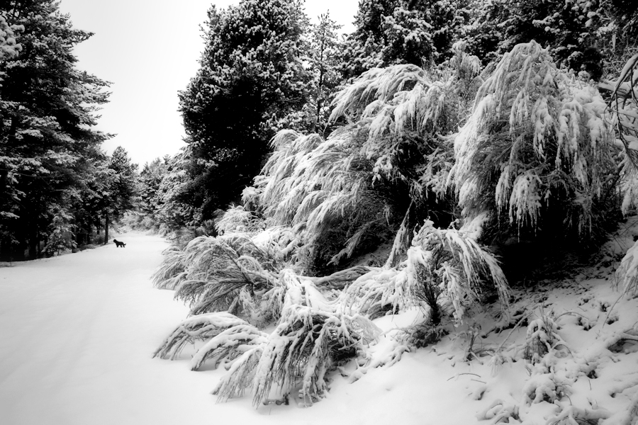 dog on snow / gos a la neu