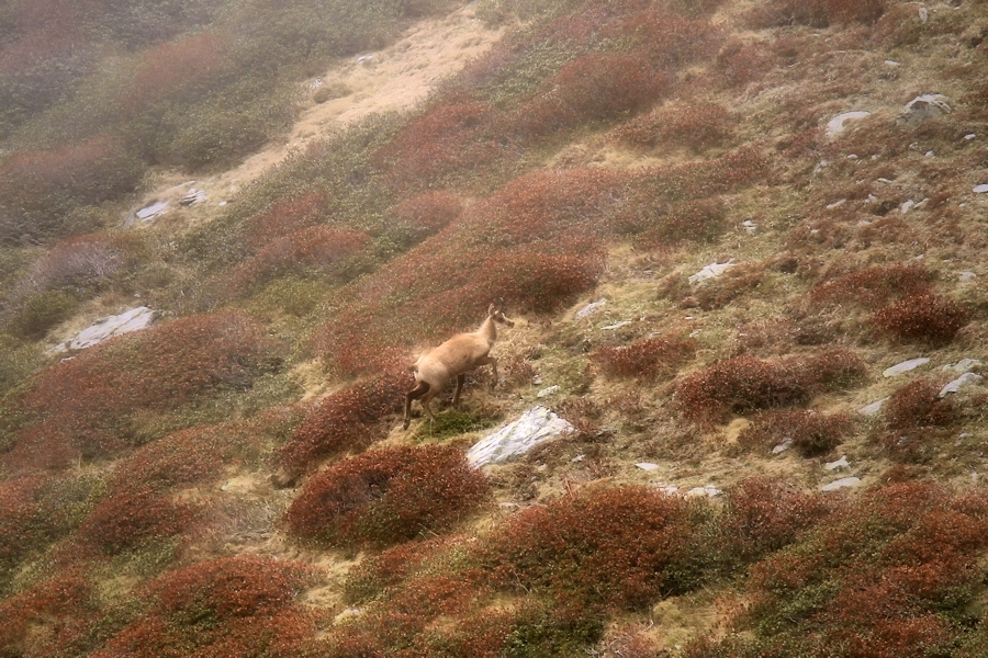the lyricism of the chamois / el lirisme dels isards