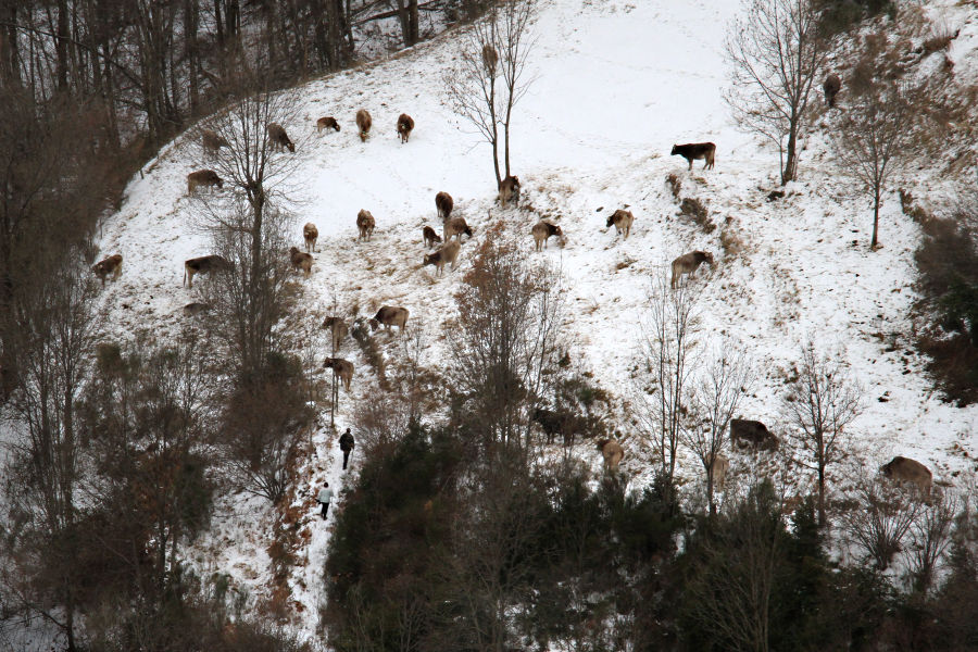 the cows / les vaques