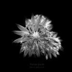 astrantia / l'astrància