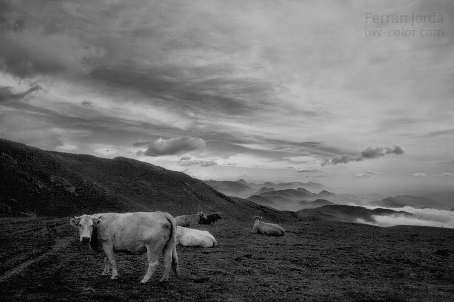 cows / vaques