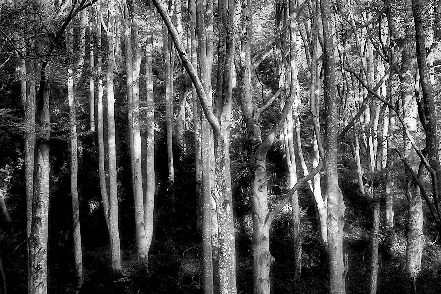 beech forest / la fageda
