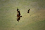 vulture's flight / el vol dels voltors