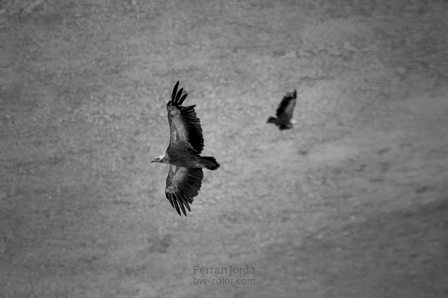 vulture's flight / el vol dels voltors