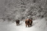 cows... and the snow / vaques... i la neu