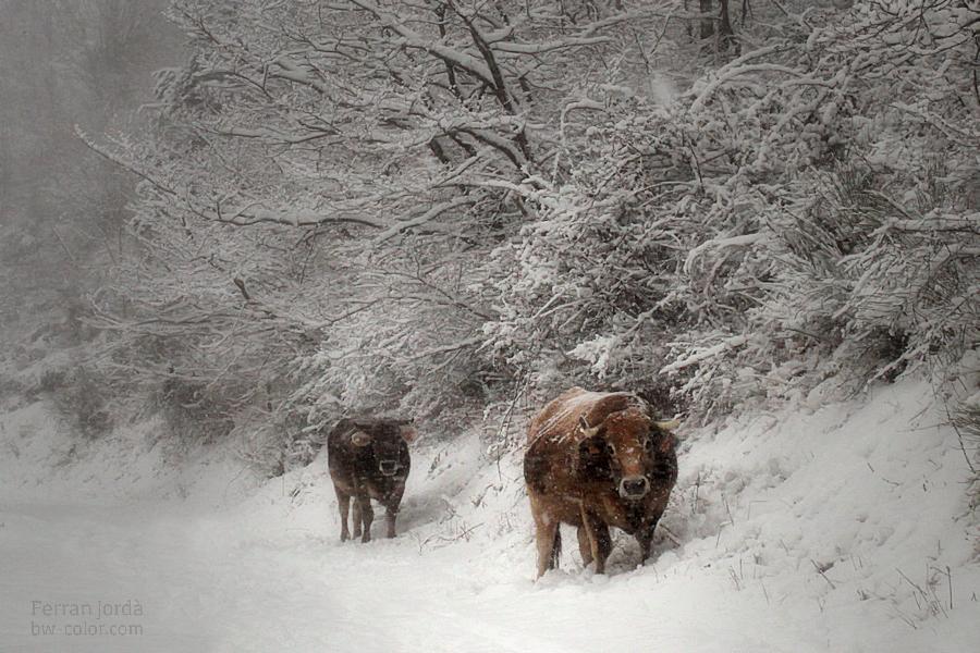 cows... and the snow / vaques... i la neu