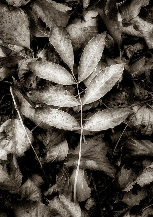 Leaves between leaves / Fulles entre les fulles / Hojas entre las hojas