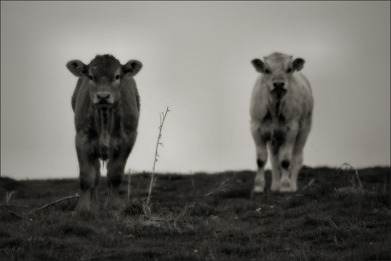 A little moo and another…
