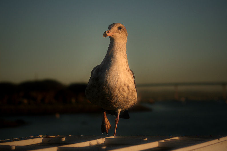 Birding on San Diego Bay - II