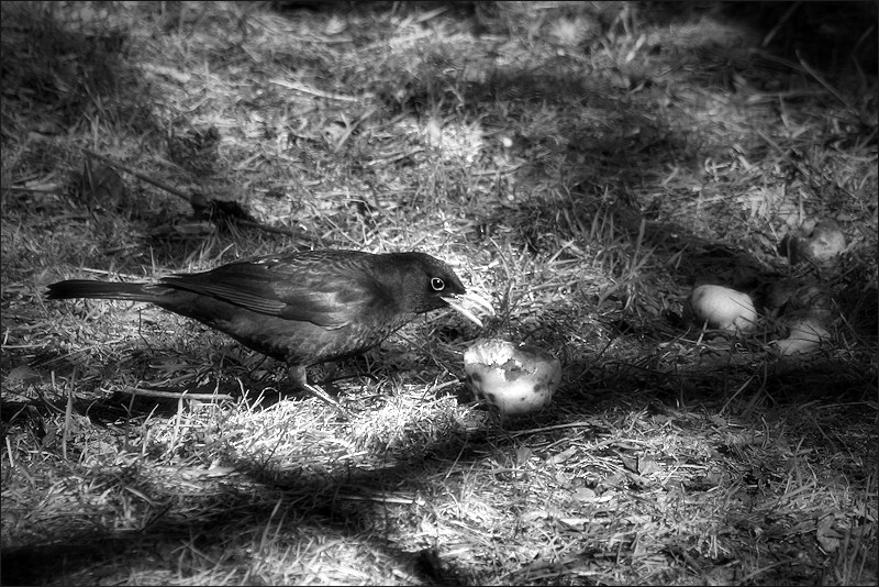 Blackbird and apple / Merla i poma