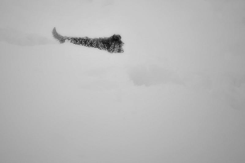 neu i gosset / snow and little dog