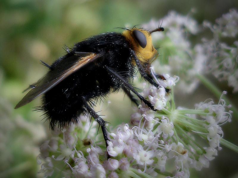 The fly / Abrics de pell de mosca