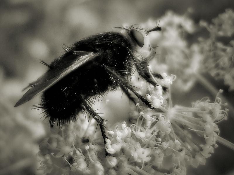 The fly / Abrics de pell de mosca.