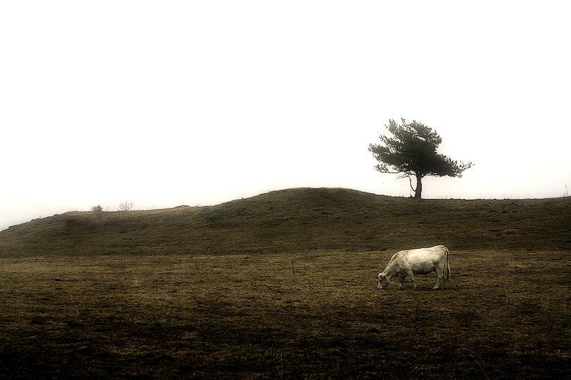 a cow and the tree / una vaca i l'arbre