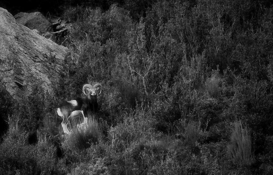 Ovis musimon (el mufló)