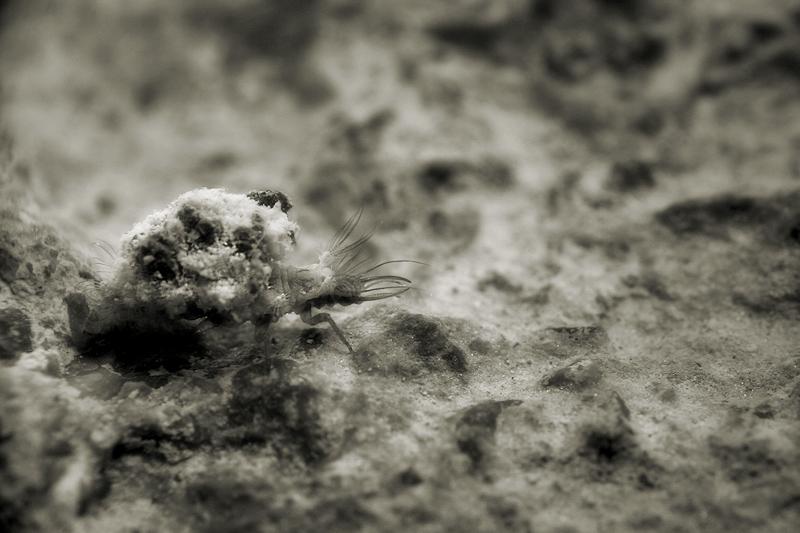 Qüestions de camuflatge  / Lacewing larva (Neuroptera chrysopidae)