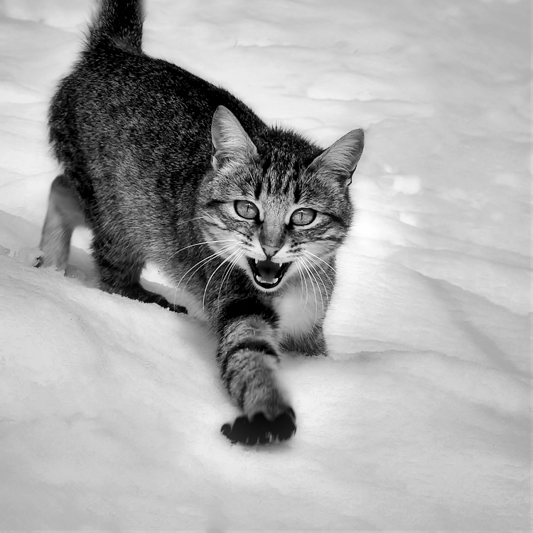 la temible gateta de les neus / the fearsome snow kitten