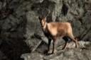 Isard pirinenc (Rupicapra pyrenaica)