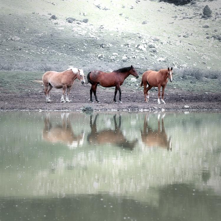 mares in pond / eugues a l'estany