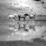 mares in pond / eugues a l'estany