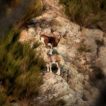 little mouflons / els petits muflons