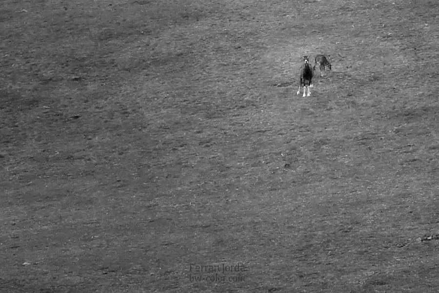 muflon in the meadow / el mufló al prat