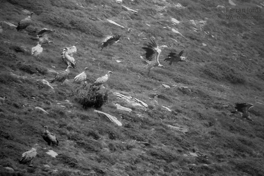 swallows' flight / el vol de les orenetes