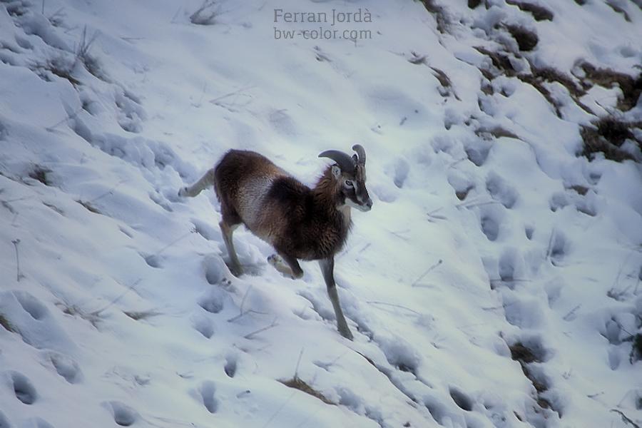 El mufló a l'hivern