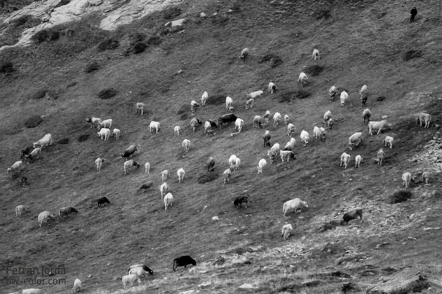 La baixada de les vaques
