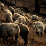 Els xais / Lambs
