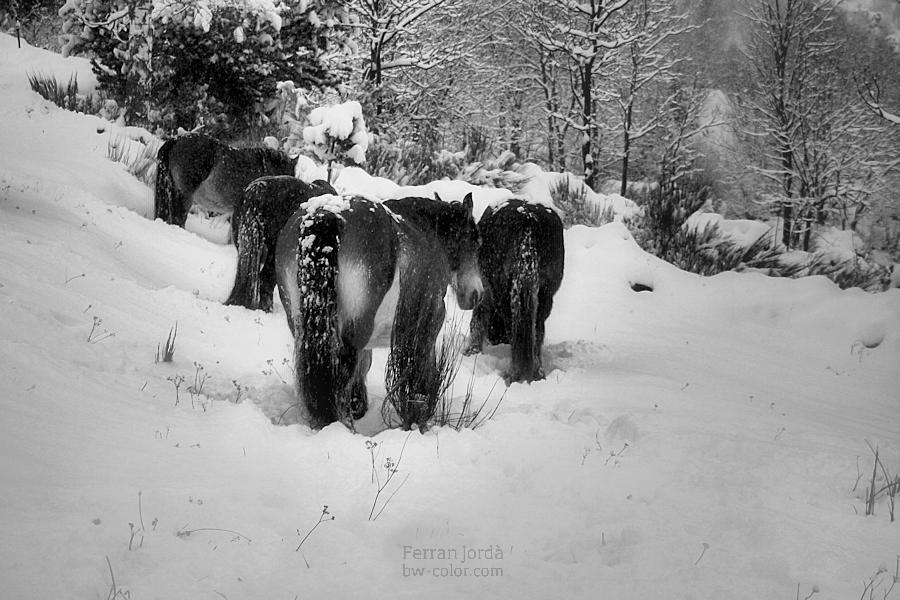 horses in winter / cavalls a l'hivern