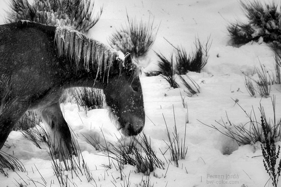 the mare in winter / l'euga a l'hivern