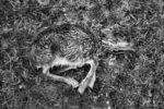 the little mouflon / el petit mufló
