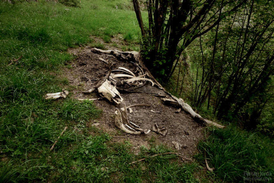 death of a cow / mort d'una vaca