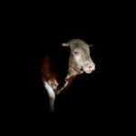 night bull / brau de nit